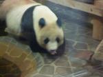 panda11.8.jpg